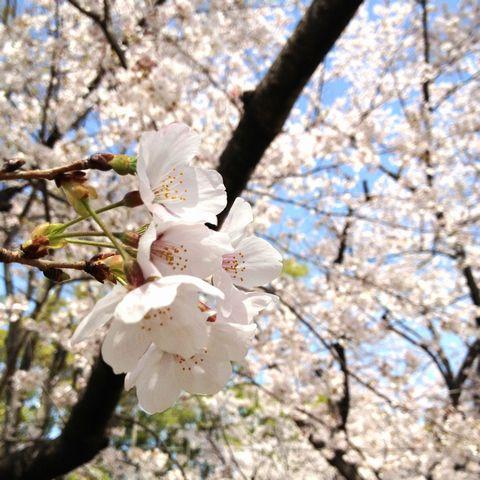 iPhone4S 桜 プロカメラ