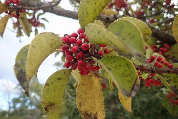 SiSO-LAB☆子どもと一緒に!ポケット版 木の実さんぽ手帳。木の実を観察。珊瑚樹。