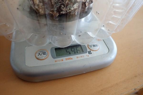 SiSO-LAB☆しいたけ栽培キット2回目。栽培開始前の栽培ブロックの重さ。