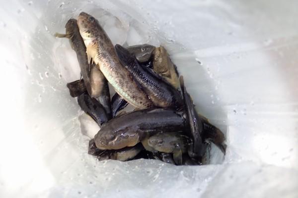 SiSO-LAB☆ダイソー竹釣りざおでハゼ釣り。そこそこ釣れました。。
