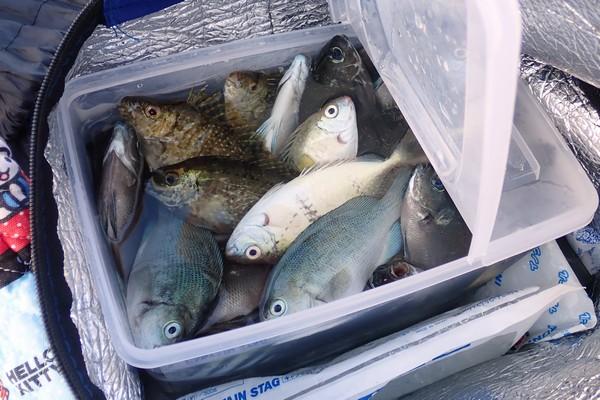 SiSO-LAB☆サビキ釣り。メジナやアイゴ、60匹。