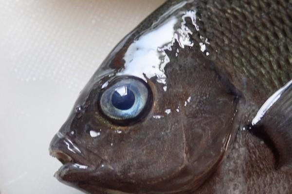SiSO-LAB☆釣。メジナの目は青くてきれい。