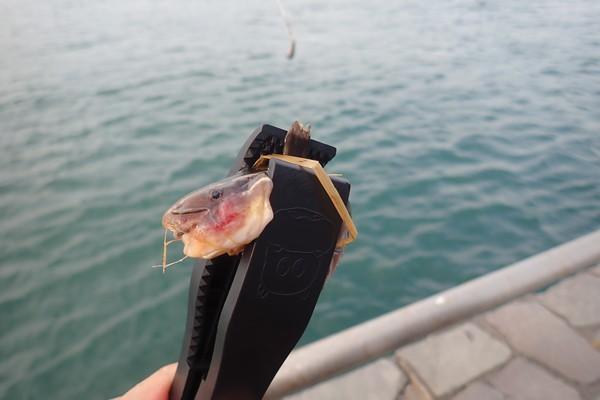 SiSO-LAB☆釣魚図鑑 豊田直之著。小さなゴンズイ。