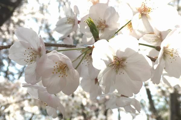 SiSO-LAB☆桜がきれいに咲きました。iPhone+ProCamera。
