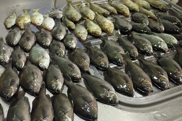 SiSO-LAB☆100均小出刃包丁で魚を三枚おろし。昨年、サビキ釣りでたくさん釣れたよ。