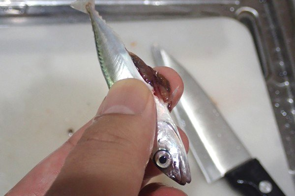 SiSO-LAB☆小さい魚向け内臓の取り方。軽く背中側からお腹を押す。