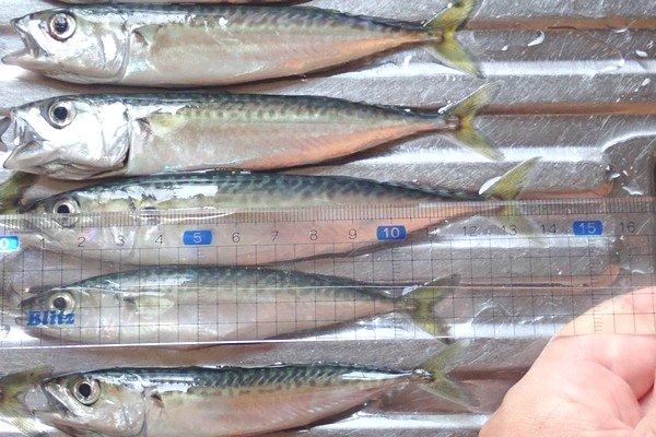 SiSO-LAB☆釣り!格安サビキ仕掛け、Riseway爆釣サビキ。大きい方の豆サバで13cm。