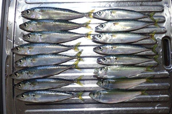 SiSO-LAB☆強風の中釣り。プロトラスト3-420、リール、デビュー。全部で16匹釣れました。