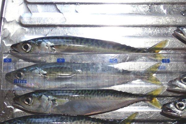 SiSO-LAB☆強風の中釣り。プロトラスト3-420、リール、デビュー。大きい物で15.5cm。