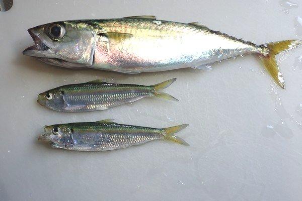 SiSO-LAB☆釣り サバの捌き方。前回の釣果。ちょっと寂しい。でもサバは21cm。