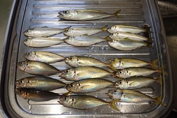 SiSO-LAB☆本日の釣果。小アジ12匹、サッパ7匹、小サバ1匹。